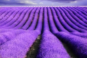 Lavande Lavender Field France Provence Savon Vertus Virtues